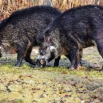 フランスで1日に158頭のイノシシが大虐殺!狩猟の様子とは!